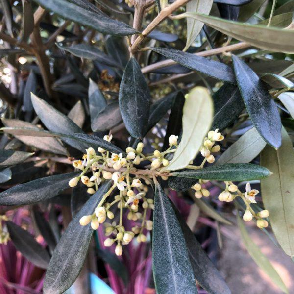Olivovník európsky 60 cm kmienok kont. 4L
