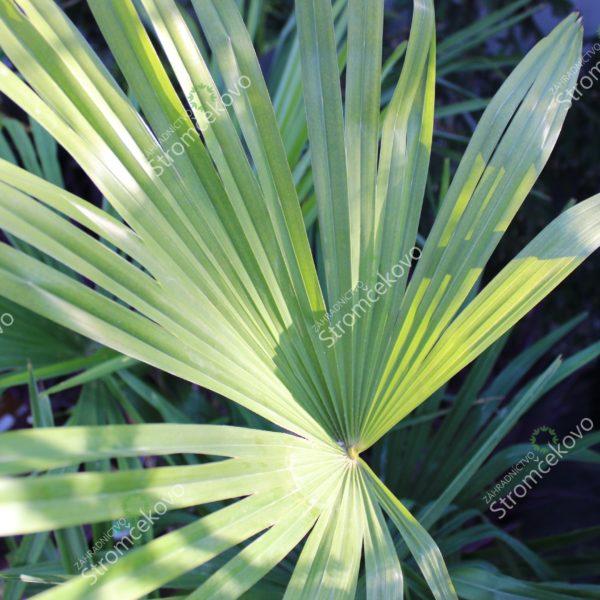 Palma konopná 90-110cm 5L image