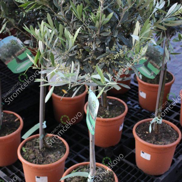 Olivovník európsky 60 cm kmienok kont. 4L image