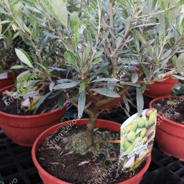 Olivovník európsky - bonsaj image