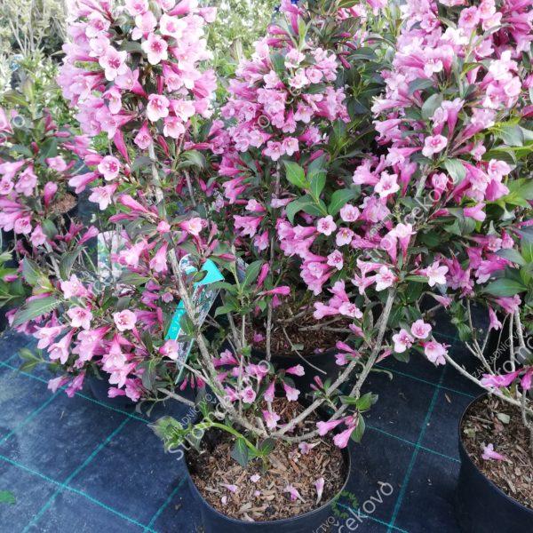 Vajgela kvetnatá ´FOLIIS PURPUREIS´ 30-40cm image