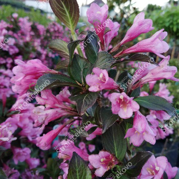 Vajgela kvetnatá ´FOLIIS PURPUREIS´ 30-40cm