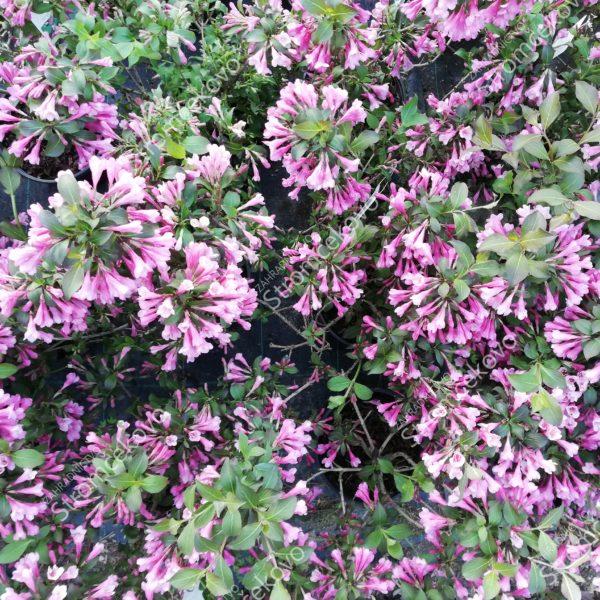 Vajgela kvetnatá ´NANA PURPUREA´ 30-40cm
