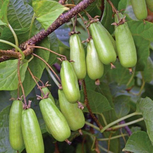 Aktinídia pestrolistá ´KOLOMIKTA´ 30-40 cm, kont. 0,5 L. image