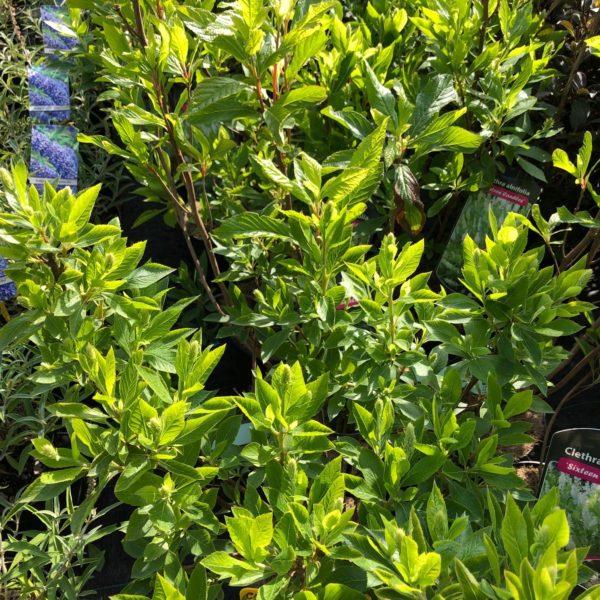 Clethra alnifolia ´SIXTEEN CANDLES´ 25-30 cm, kont. 3L.