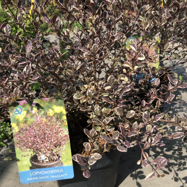 Lophomyrtus ralphii ´MAGIC DRAGON´ 20-25 cm, kont. 2L.