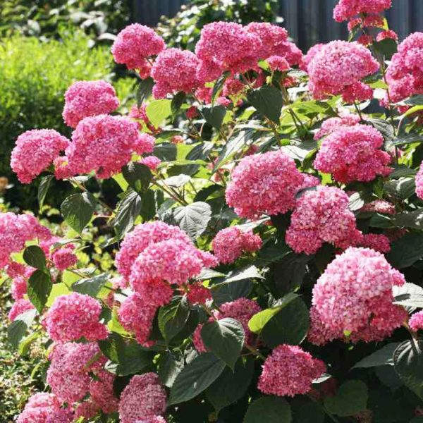 Hortenzia stromčekovitá ´MAGICAL PINKERBELL® ´ 40-50 cm, kont. 3L. image