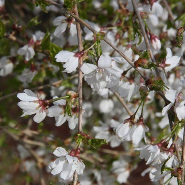 Okrasná čerešňa ´FRILLY FROCK´ kmeň 120cm štep. kont. 7,5 L. image