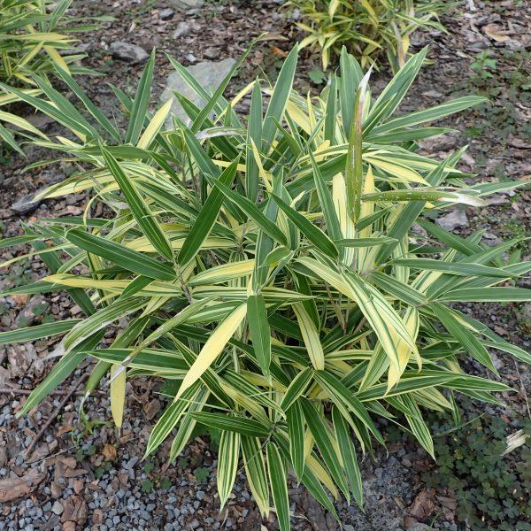 Bambus sasaella mas. ´ALBOSTRIATA´ 20-30 cm, kont. 2 L. image