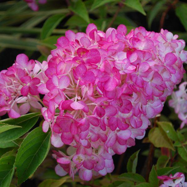 Hortenzia metlinatá ´SUNDEA FRAISE®´ 30-40 cm, kont. 2L. image