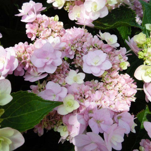 Hortenzia kalinolistá ´YOU&ME® FOREVER´ kont. 3L, 40-50 cm. image