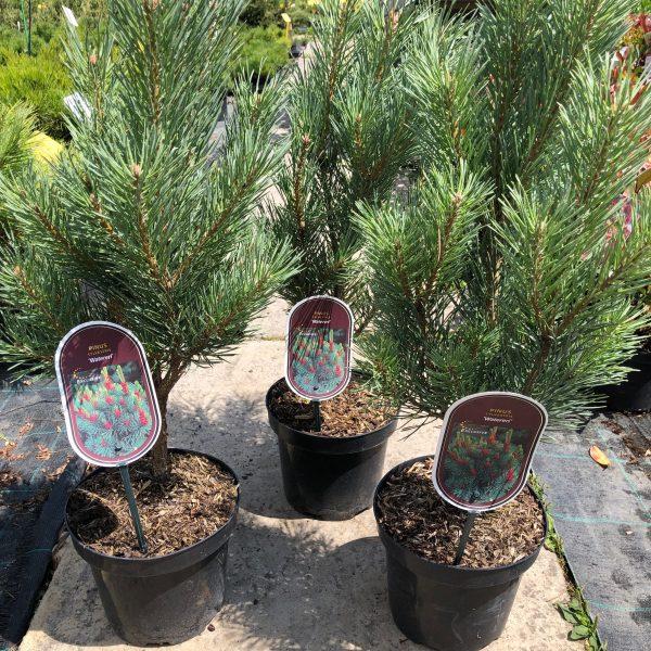 Borovica lesná ´WATERERI´ 50-60 cm, kont. 3L image