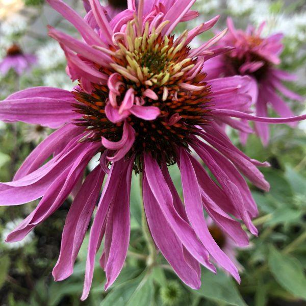 Echinacea purpurea ´DOUBLE DECKER´ kont. 1,3 L. image