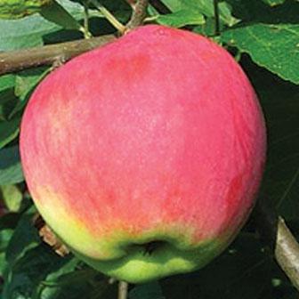 Jabloň letná ´MANTET´ 130-150cm, podp. M26, kont. 4L. image