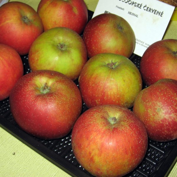 Jabloň zimná ´BOSKOOPSKÉ ČERVENÉ´ podp. M26, kont. voľnokorenná, 130-160 cm. image