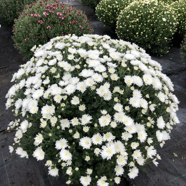 Chryzantéma biela, 60-70 cm. image