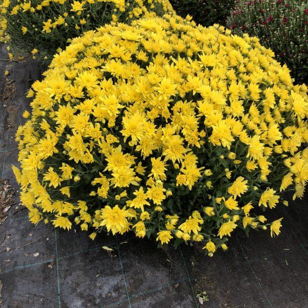 Chryzantéma žltá, 60-70 cm. image