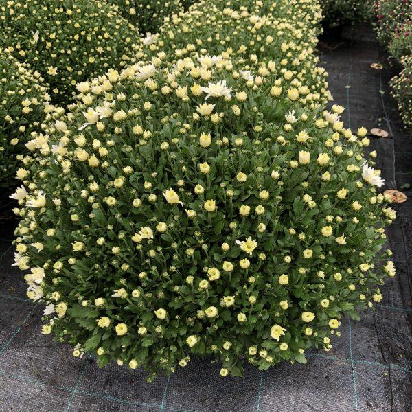 Chryzantéma bielo-krémová, 50-60 cm. image