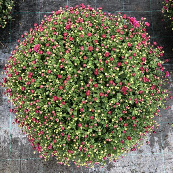 Chryzantéma fialová, 50-60 cm. image