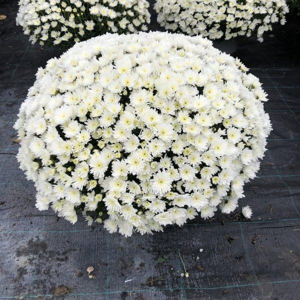 Chryzantéma biela, 40-50 cm. image
