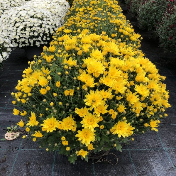 Chryzantéma žltá, 40-50 cm. image