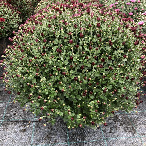 Chryzantéma červená, 40cm, kont. 5L. image