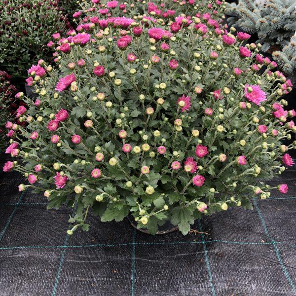 Chryzantéma ružová , 40 cm, kont. 5 L. image