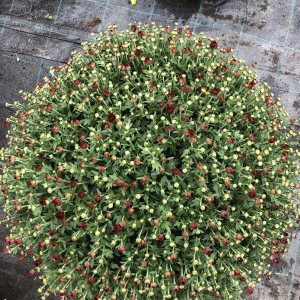 Chryzantéma červená, 60-70 cm. image