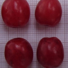Drieň obyčajný ´JULIUS´ 40-50 cm , kont. 2 L. image