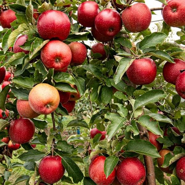 Jabloň zimná ´JONAPRINCE´ podp. M26, kont. voľnokorenná, 130-160 cm. image
