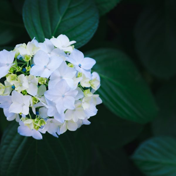 Hortenzia kalinolistá ´Little White®´ kont. 2L, 15-20 cm image