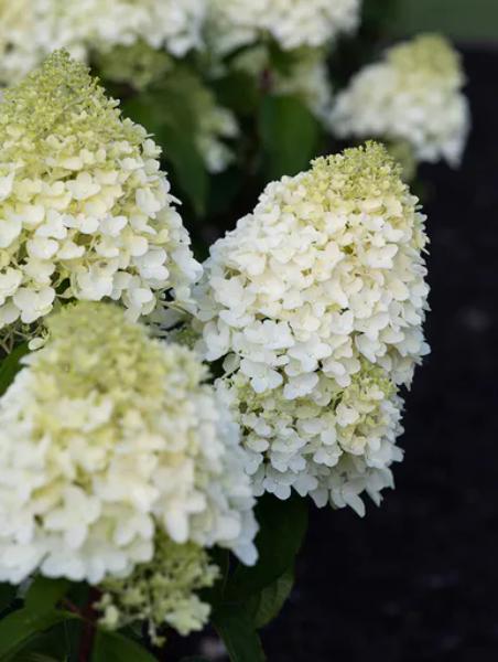 Hortenzia Metlinatá 'Little Blossom'® 25-30cm, kont. 2L image