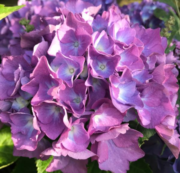 Hortenzia kalinolistá ´Renate Steiniger´ kont. 3L, 25-30 cm image