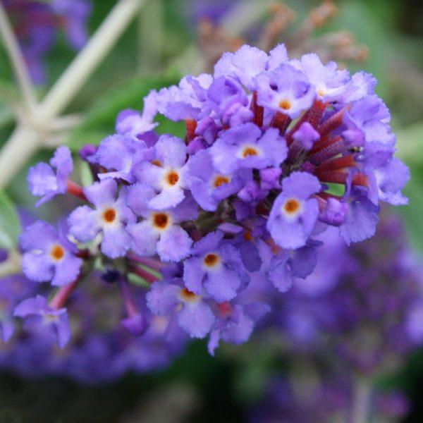 Budleja Dávidova ´Free Petite® Blue Heaven´ 30-40 cm, kont. 2 L. image