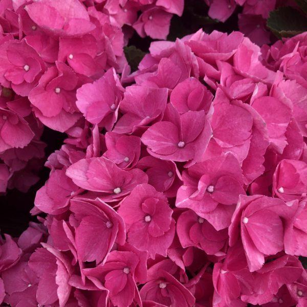 Hortenzia kalinolistá ´Forever&Ever® 'RED´ 30-40 cm, kont. 5L. image