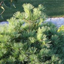 Borovica hladká ´RADIATA´ 25-35 cm, kont. 3 L. image